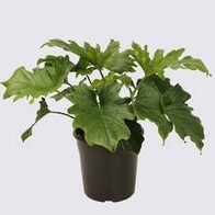 Philodendron Hope Plant